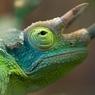 Хамелеон и его исключительные акробатические трюки (ФОТО, ВИДЕО)