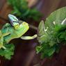 Хамелеон хамелеону: Берегись, я уже позеленел (ФОТО, ВИДЕО)