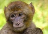 В Китае находчивая обезьяна нашла способ сбежать из зоопарка