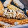 Россельхознадзор может запретить поставки кукурузы для попкорна из США