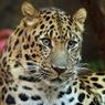 Дальневосточный леопард поселится в Московском зоопарке