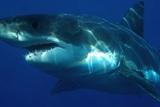 Акула-людоед атаковала наблюдающего за ней исследователя
