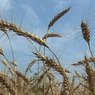 Татарстан из-за засухи может недосчитаться одного миллиона тонн зерна