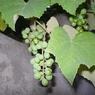 В винограде обнаружены бактерии, вызывающие прыщи