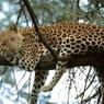 В Приморье лихач сбил леопарда и скрылся с места происшествия