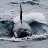 Стая китов-убийц два часа таранила корабль
