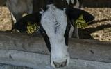 В Соединенных Штатах корове удалось уйти от полицейской погони