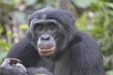 Современные обезьяны оказались умнее предков человека