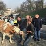 Правительство Киева блокировали коровы