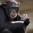 Исследователи обнаружили у шимпанзе новую развитую «цивилизацию»