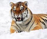 Амурские тигры вступили в схватку с записывающим видео дроном