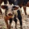 В Китае обнаружен штамм свиного гриппа, способный стать новой пандемией