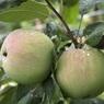Перед допуском белорусских яблок в Россию, там измерили все сады