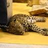 В Таганроге леопард напал на сотрудницу зоопарка и стражи порядка застрелили хищника