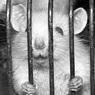 """В погоне за """"креативным"""" подарком, россияне скупили всех крыс в зоомагазинах"""