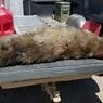 Эксперты установили вид таинственного животного, убитого на ранчо в США