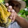 Рождение шоколада: генетики выяснили, когда впервые окультурили какао-деревья