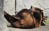 Спасение медведей - дело лап самих медведей (ВИДЕО)