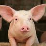 Впервые создан гибрид человека и свиньи