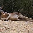 Агрессивный кенгуру с соломинкой во рту напал на преследовавший его автомобиль