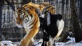 Тигру Амуру и козлу Тимуру приготовили новогодний сюрприз