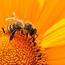 Тотальное вымирание пчёл ‒ вопрос времени, заявили учёные
