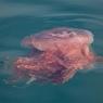 В Тасмании на берег выполз Тасманийский Дьявол (ФОТО)