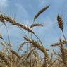 Из-за падения рубля на российском рынке резко подорожало зерно