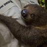 Сирота-ленивец обрел суррогатную мать (ВИДЕО)