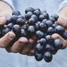Ученые обнаружили пользу винограда в лечении рака легких