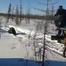 "Живодерам, задавившим на машине ""Урал"" дикого медведя в Якутии, грозит тюрьма"