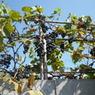 В Грузии сильный дождь с градом уничтожили урожай винограда