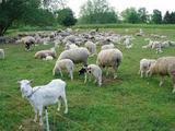 Козы и овцы официально стали деньгами в Зимбабве