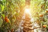 У томатов обнаружили способность «разговаривать» с помощью электрических импульсов