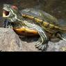 Замерзшая тропическая черепаха оказалась на территории сибирской ГЭС