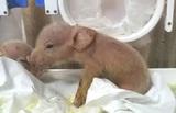 В Китае родились первые гибриды свиней и обезьян