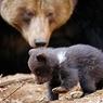 Медведи рыскают в поисках жителей Приморья пожирнее