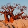 Учёные в растерянности: в Африке по неизвестной причине умирают легендарные баобабы