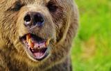 На Камчатке медведя-шатуна сняли на видео на окраине  Вилючинска (ВИДЕО)