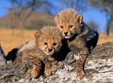 В Австралии овчарка воспитывает гепардов