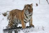 Жители Приморья нашли у дороги третьего сильно истощенного тигренка