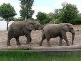 В Таиланде пять человек пострадали из-за нападения собаки на слонов