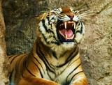 Смертельный номер: жительница Канады залезла в клетку к тигру за шляпкой (видео)