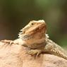В местах обитания инков найдены крошечные драконы (ФОТО)