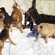 В Красноярске на девочку напала стая собак