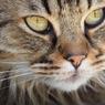Исследователи выяснили, как выглядели кошки эпохи викингов