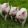 Свинские алименты: волгоградец рассчитался по родительскому долгу натурой