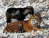 Во время недавнего снегопада козел Тимур выгнал тигра Амура из убежища