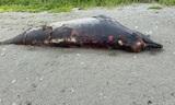 На Сахалине нашли огромную тушу неизвестного существа