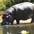 Московский зоопарк скоро пополнится карликовым бегемотом
